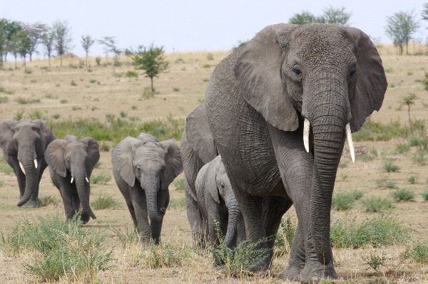 African Elephants in Queen Elizabeth National Park