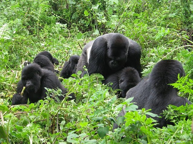 Mountain Gorilla Tracking in Bwindi National Park